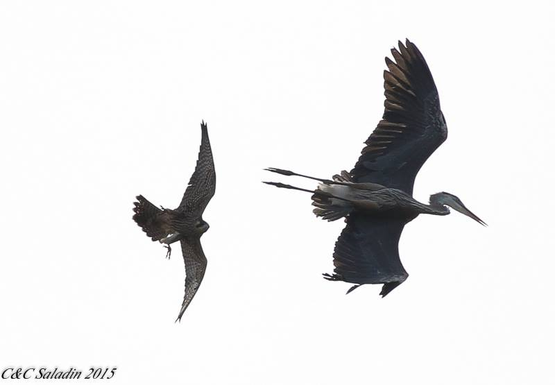 A Great Blue Heron Being Chased by a Peregrine Falcon