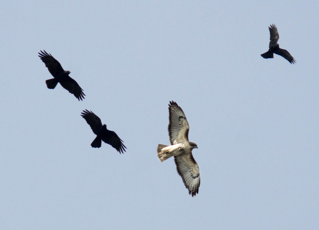 Red-tailed Hawk Being Mobbed by Crows