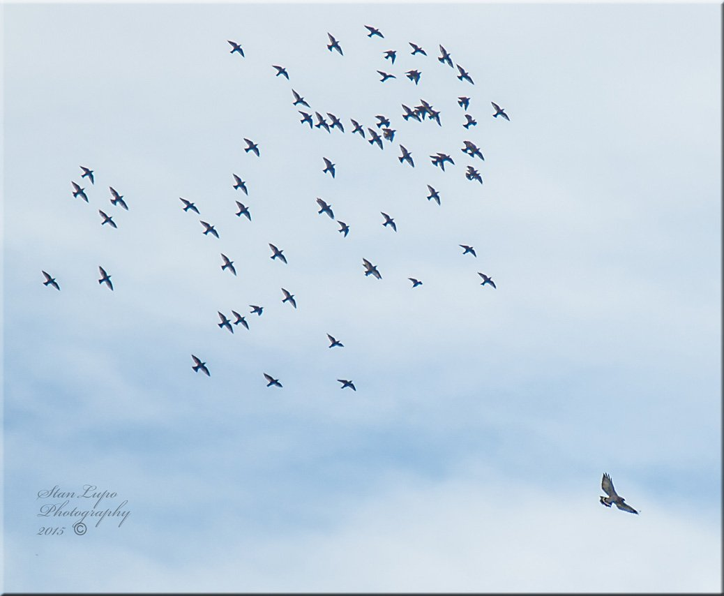 European Starlings turning back after chasing a Sharp-shinned Hawk Away