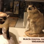 Museum Minute: The Black Footed Ferret Success Story