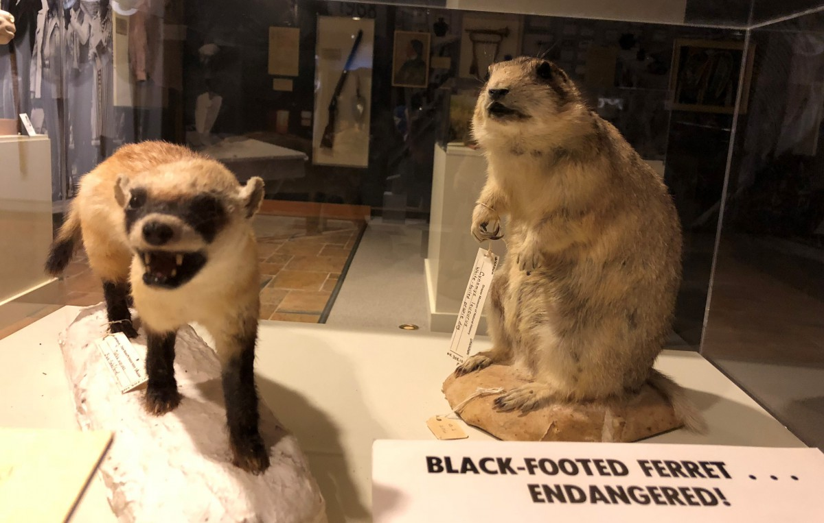 Black footed ferrets displayed in the Draper Natural History Museum. Credit: Kamila Kudelska