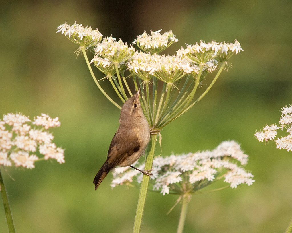 Chiffchaff Gleaning for Insects
