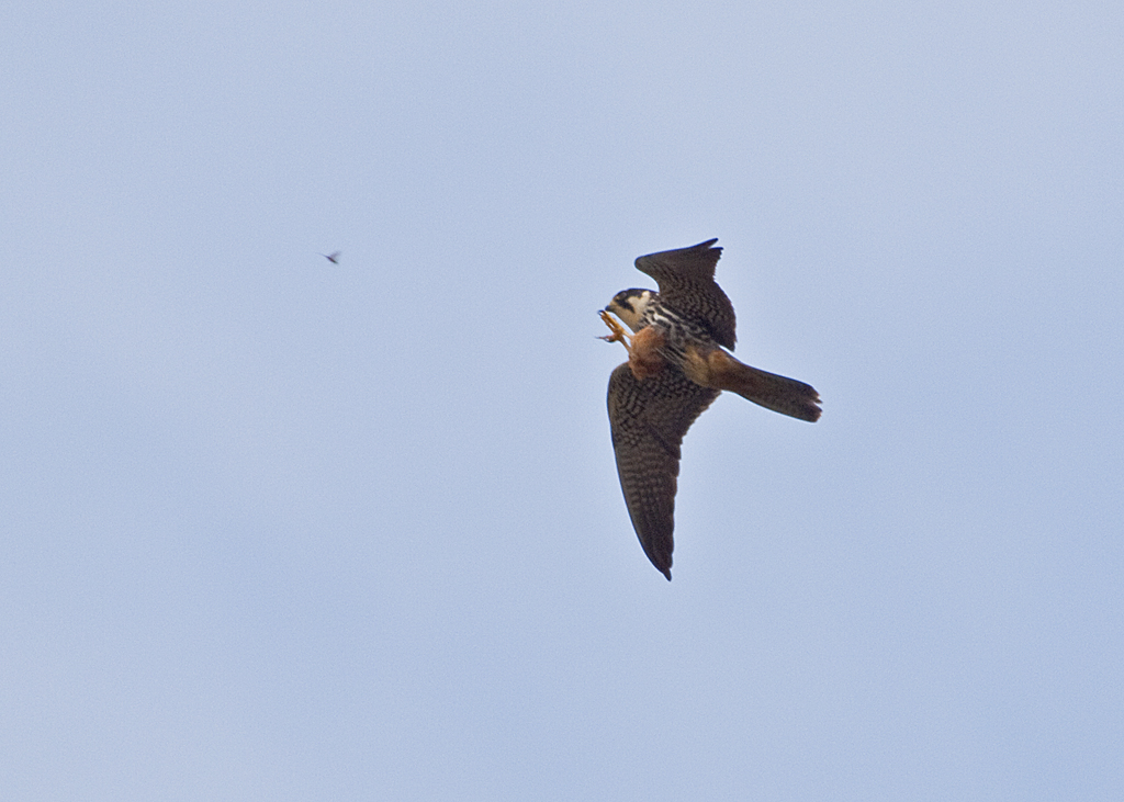 A Small Falcon, the Hobby, reaching out to catch an insect while in flight.