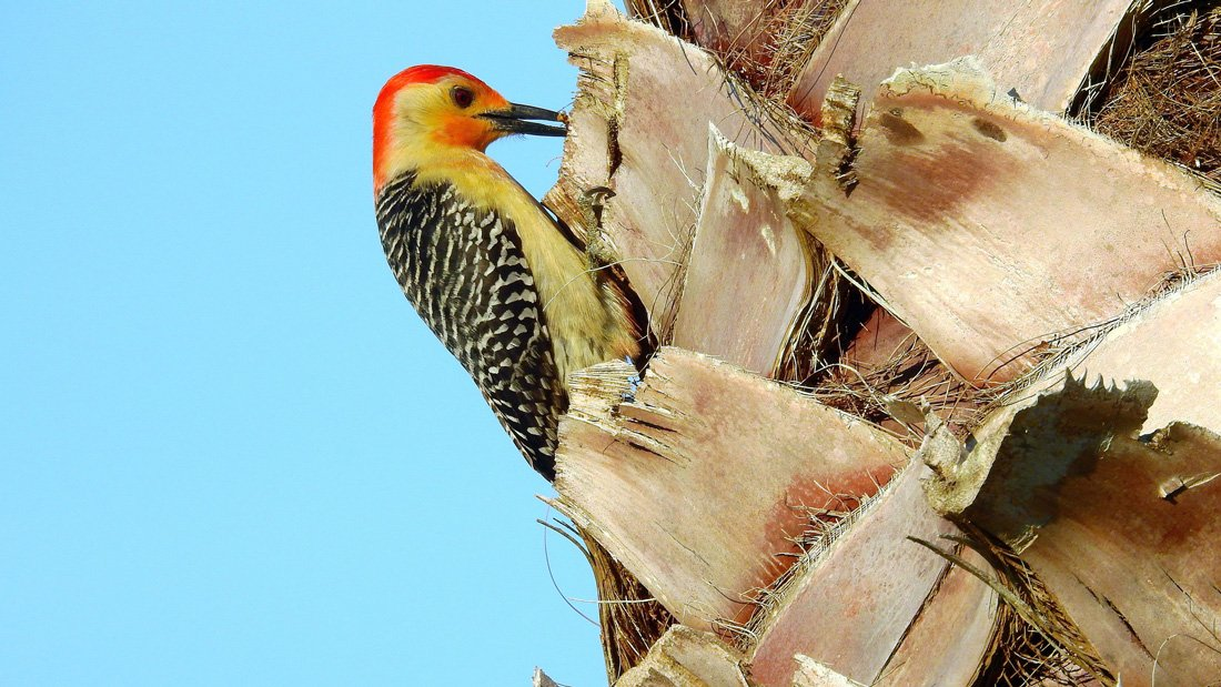 Red-bellied Woodpecker probing for insects in a Mexican Fan Palm in Bradenton, Florida.
