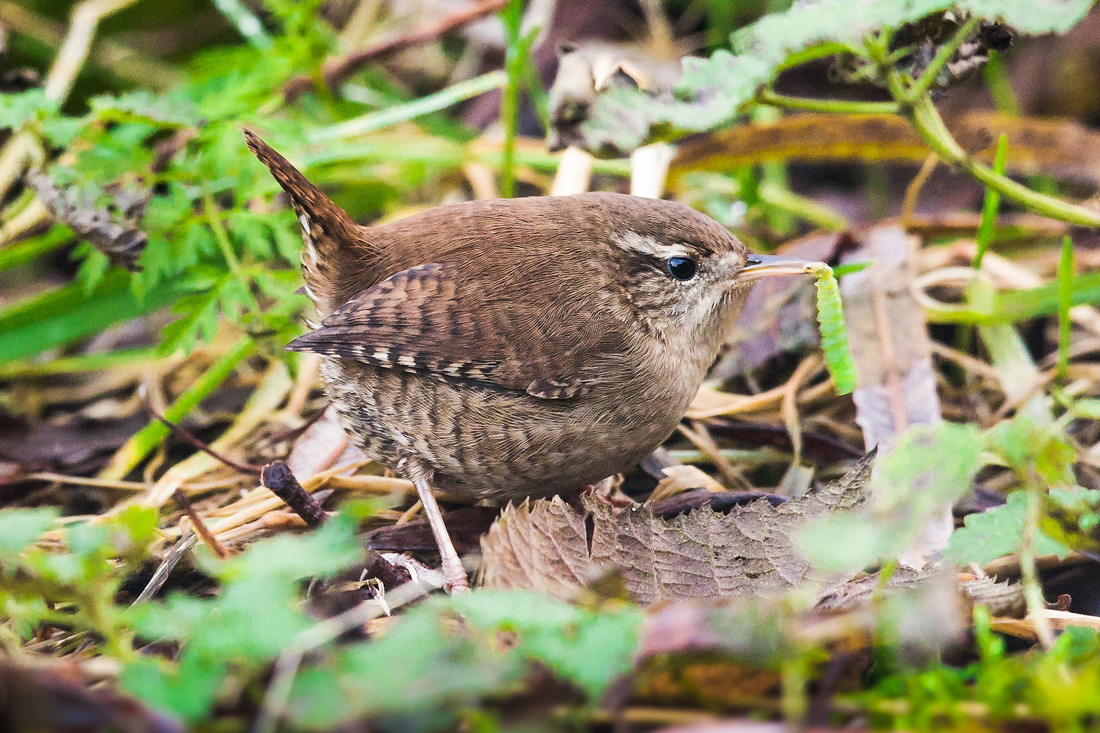 Wren Foraging for a Meal by Searching the Leaves on the Gound