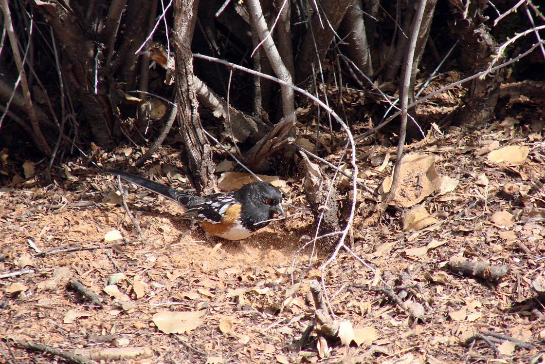 Spotted Towhee in Snow Canyon, Utah, using its feet to scratch through the ground cover while gleaning.