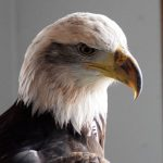 Jade, the Draper Museum Raptor Experience's bald eagle.