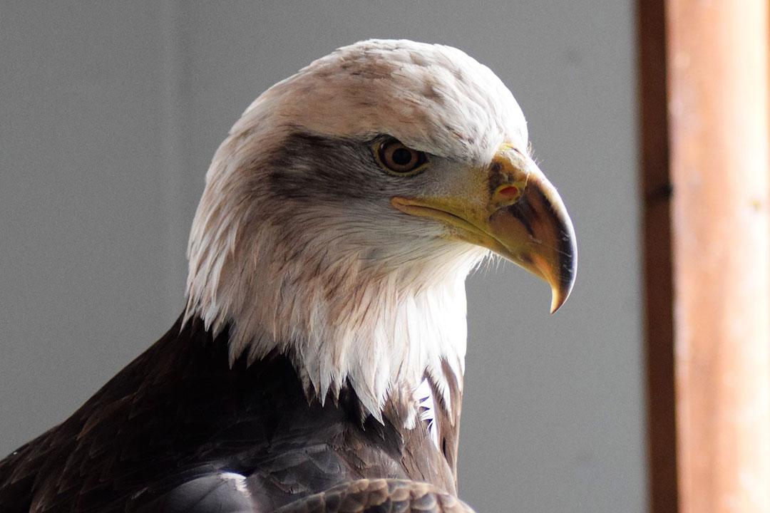 Jade, the Draper Museum Raptor Experience's bald eagle.