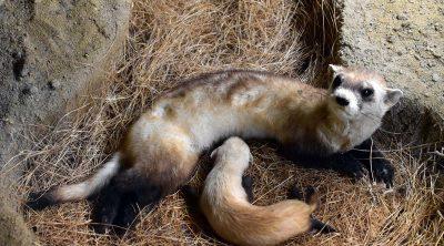 Black-footed ferret (Mustela nigripes) specimen. DRA.305.37