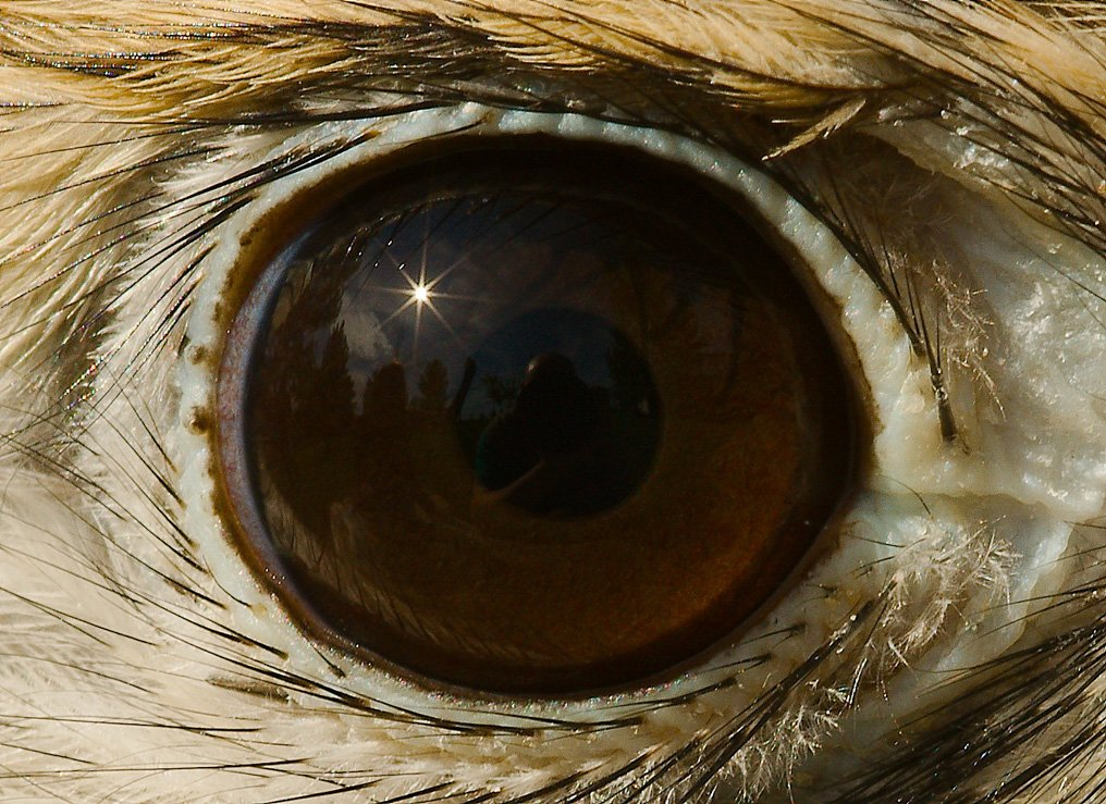 Close up view of an American Kestrel's eye.