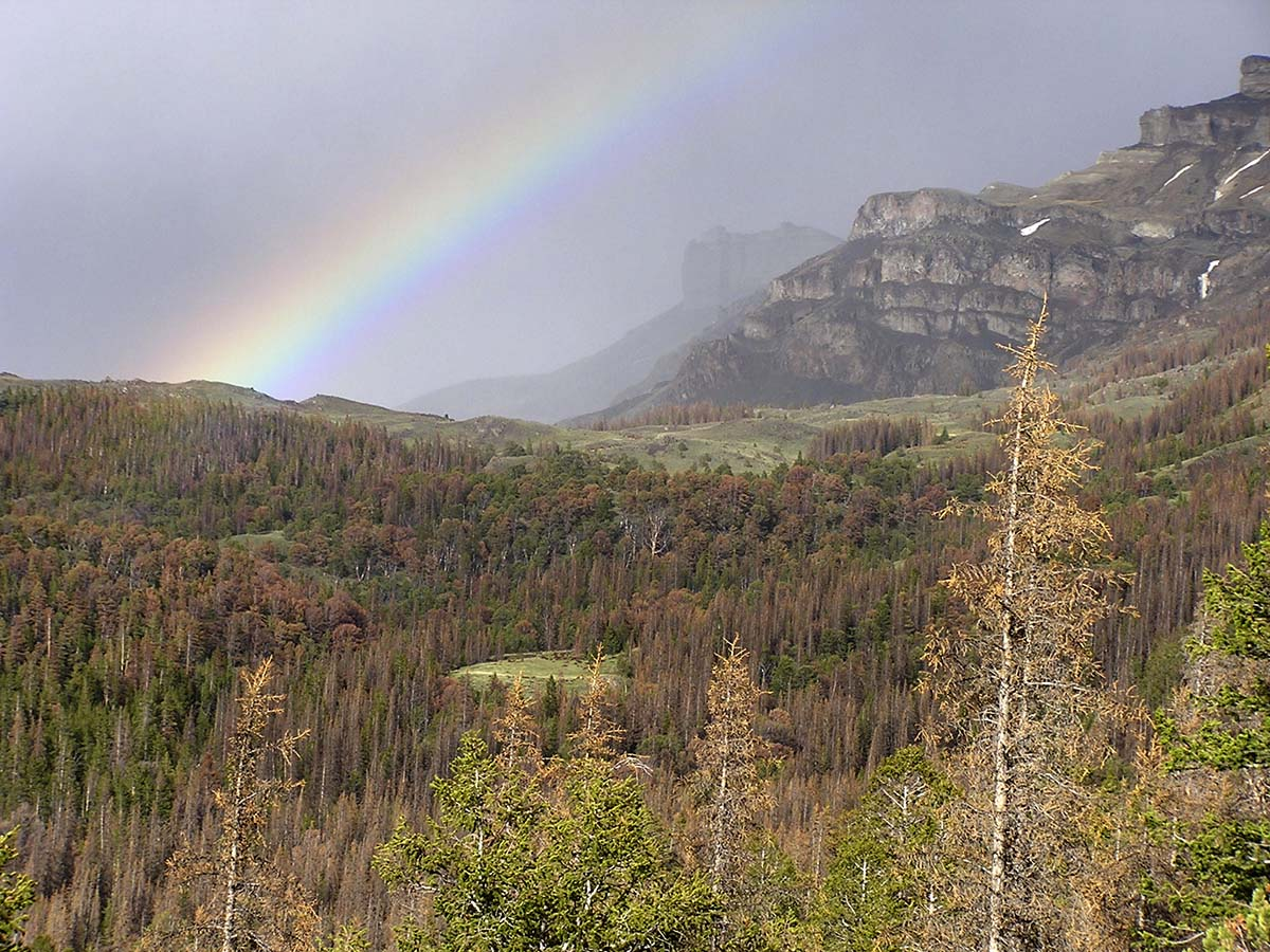 An afternoon rainbow punctuates the Carter Mountain study area. Note the extensive stands of beetle-killed Engelmann spruce trees. C.R. Preston photo.
