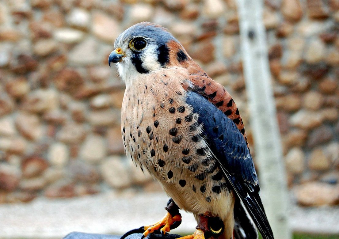 Salem, a male American Kestrel is part of the Draper Museum Raptor Experience