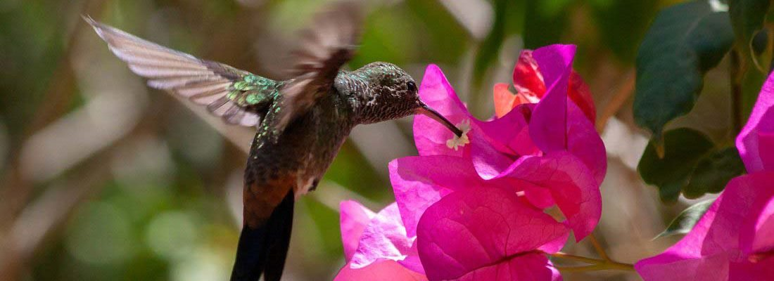 Humming Bird Feeding From a Flower