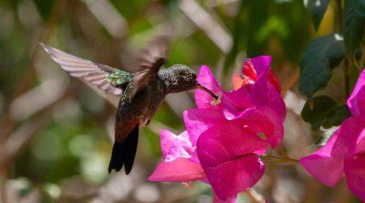 Humming Bird Feeding From a Flower