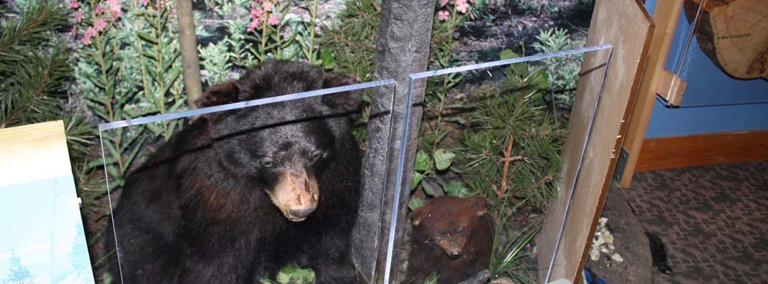 Draper Natural History Museum, Mountain Biome, moving bears to exhibit.