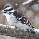 Perched Downy Woodpecker On a Snowy Day