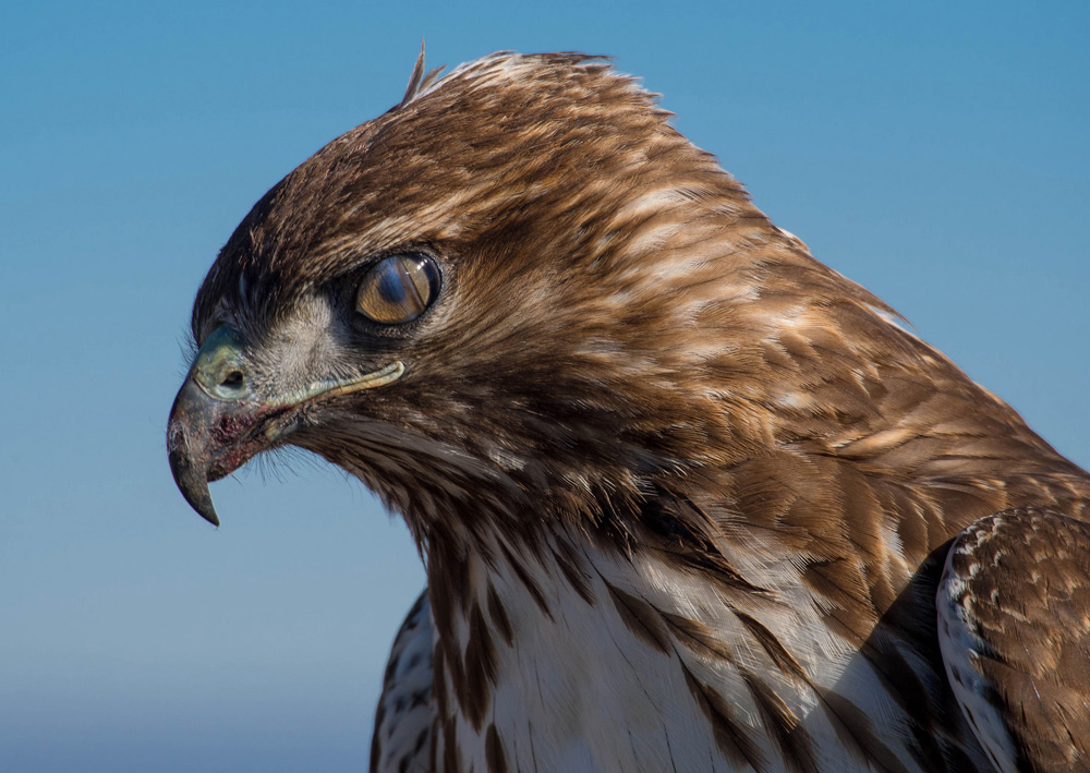 A Hawk Blinking its Nictitating Membrane