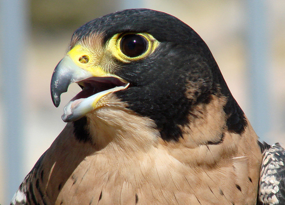A Peregrine's Nostril Illustrating the Tubercle