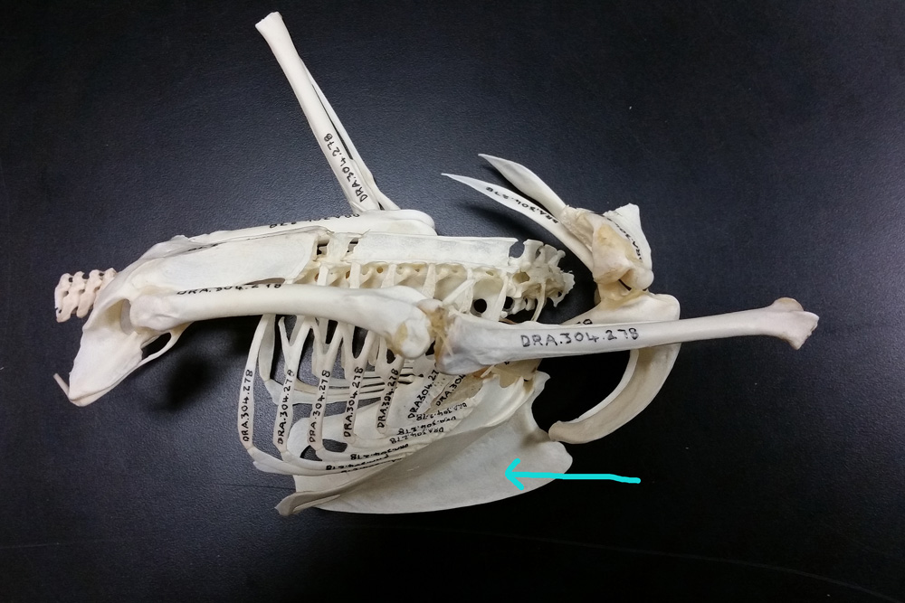 Partial Skkeletal Material Showing the Peregrine's Keel Bone