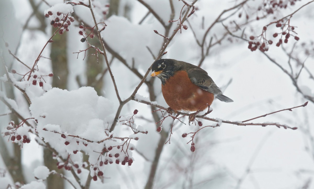 Robin Perched On a Branch In a Winter Snowy Day