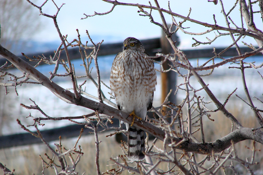 A Cooper's Hawk Perched in a Tree