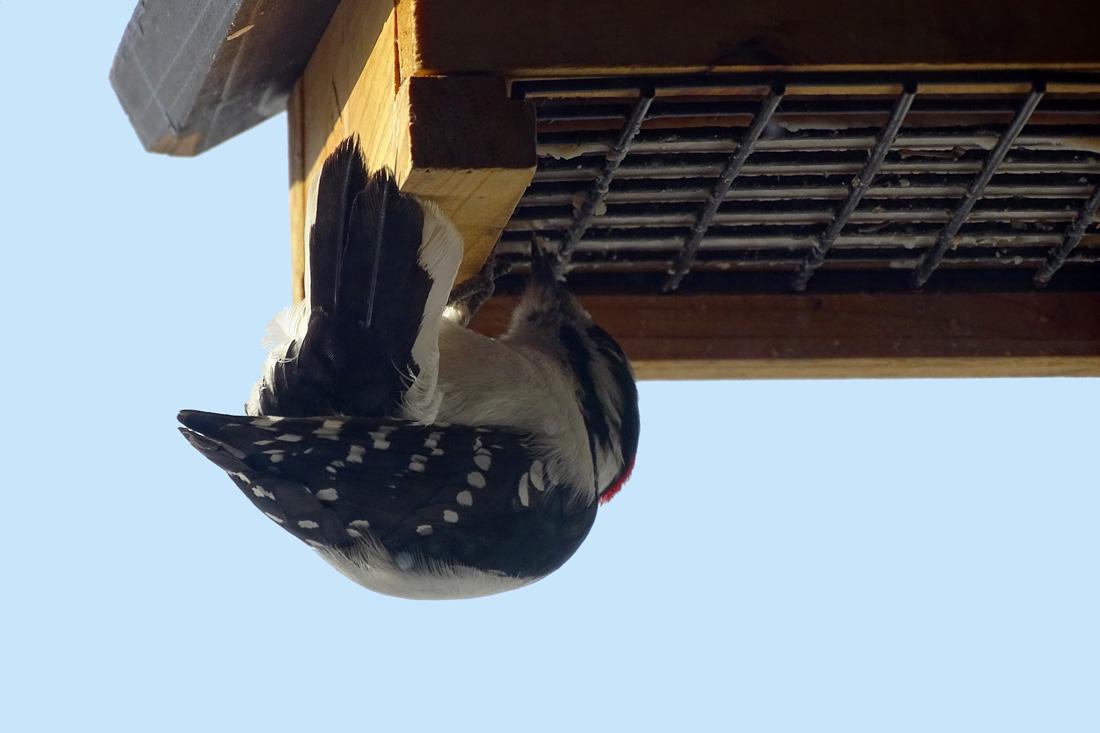 Downy Woodpecker Enjoying a Bird Cake