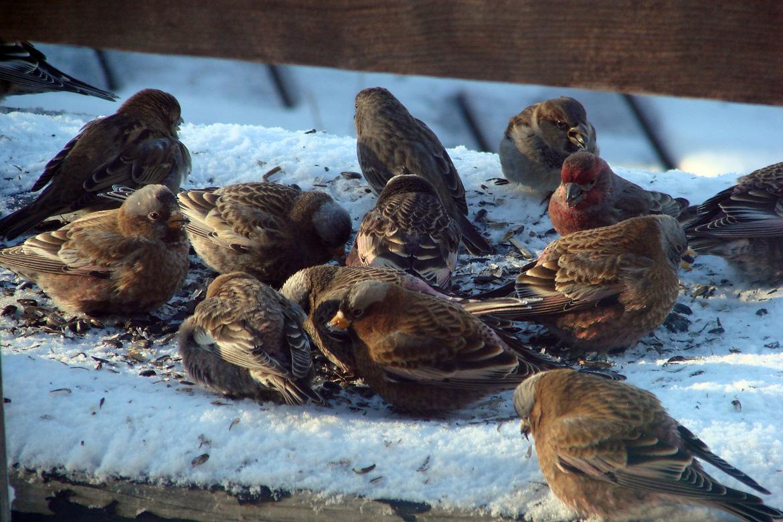 Small Birds Feeding on Sunflower Seedss
