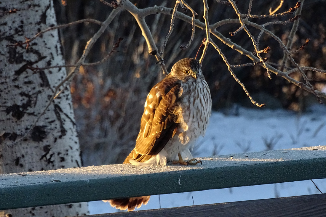 Sharp-shinned Hawk flufed and standing on one leg.