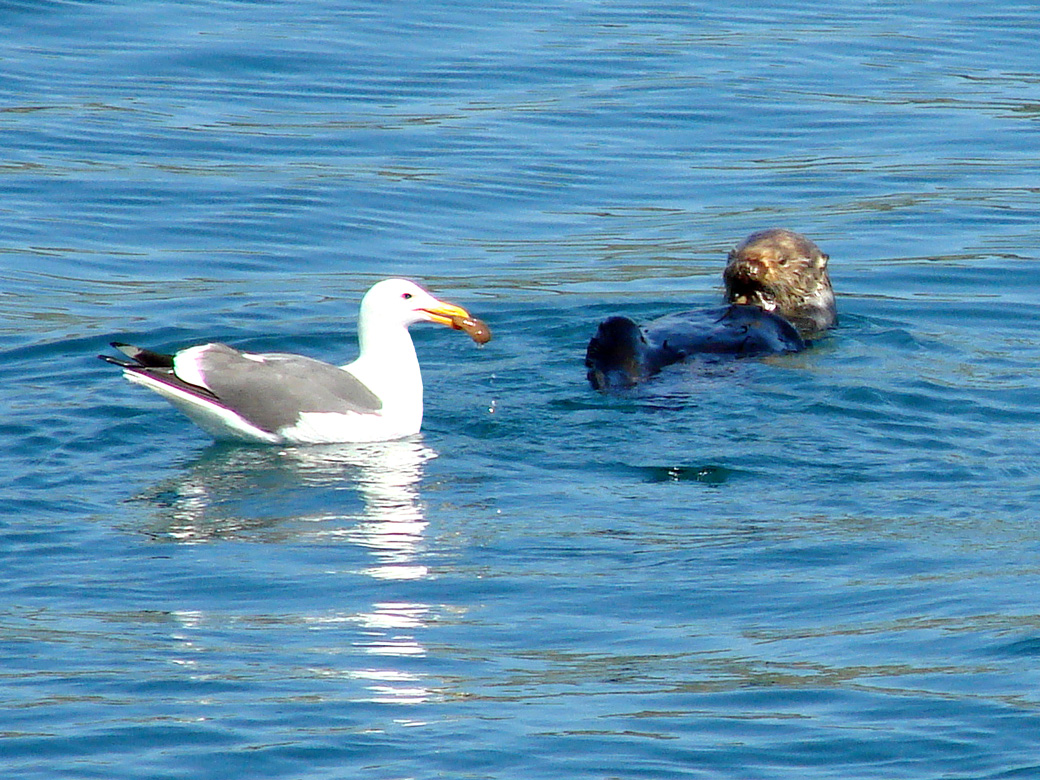 Seagull Enjoying the Otter's Catch