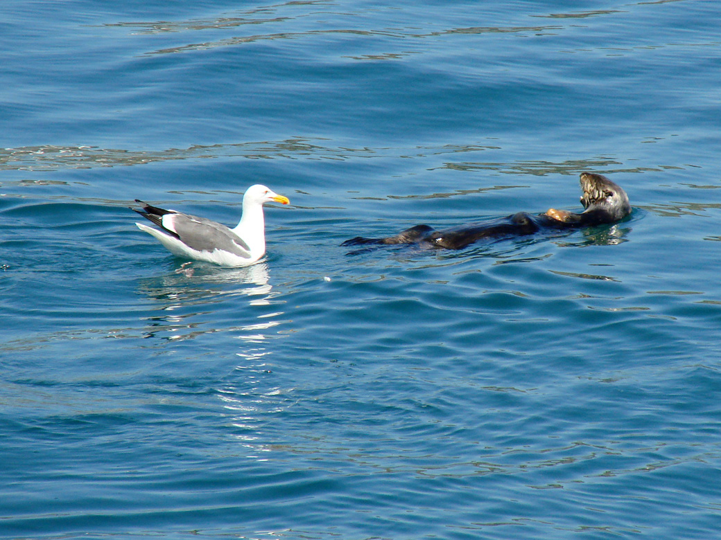 Seagull Eying the Otter's Catch