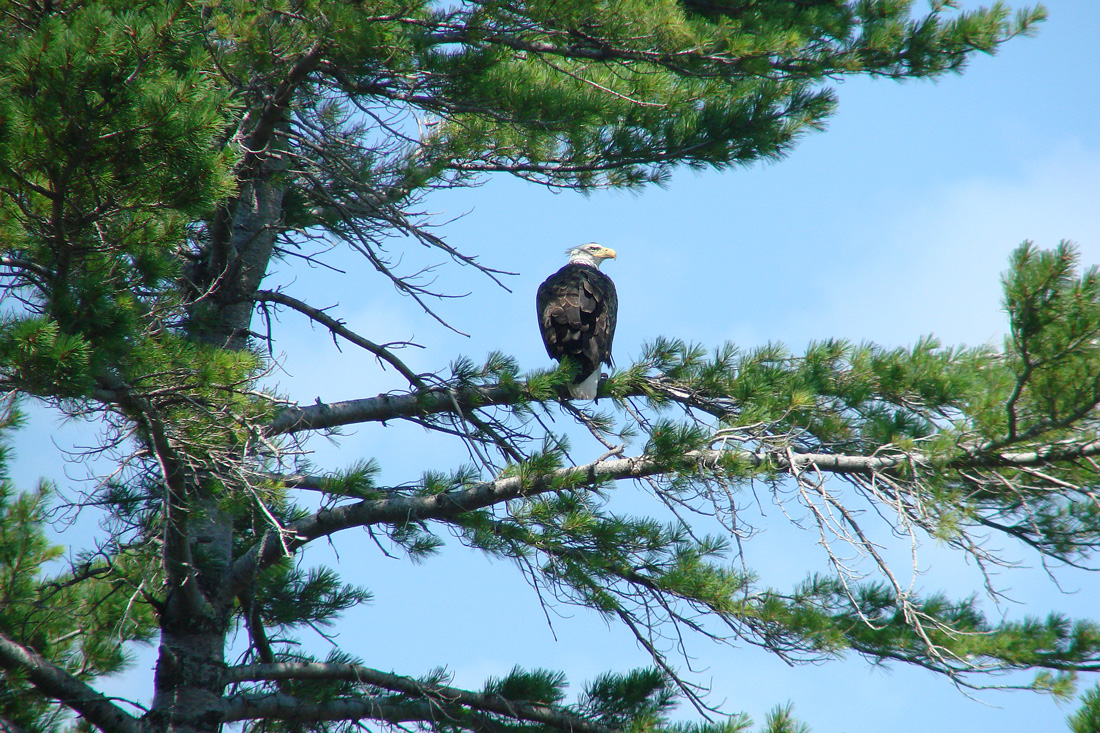 Bald Eagle In a White Pine Tree