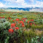 Indian paintbrush with mountain backdrop. Moosejaw Bravo Photography.