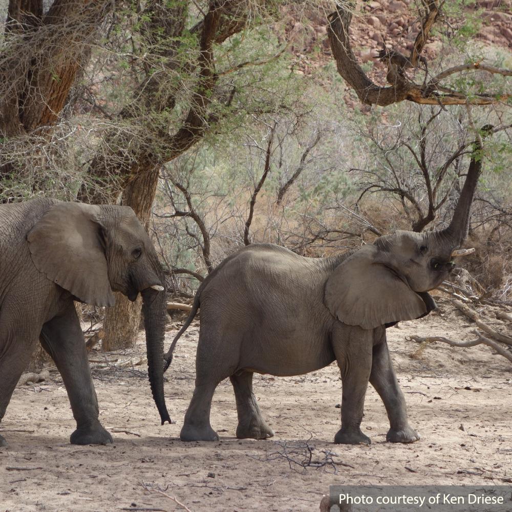 Mark Jenkins talk: Elephants in the Namib Desert. Ken Driese photo.