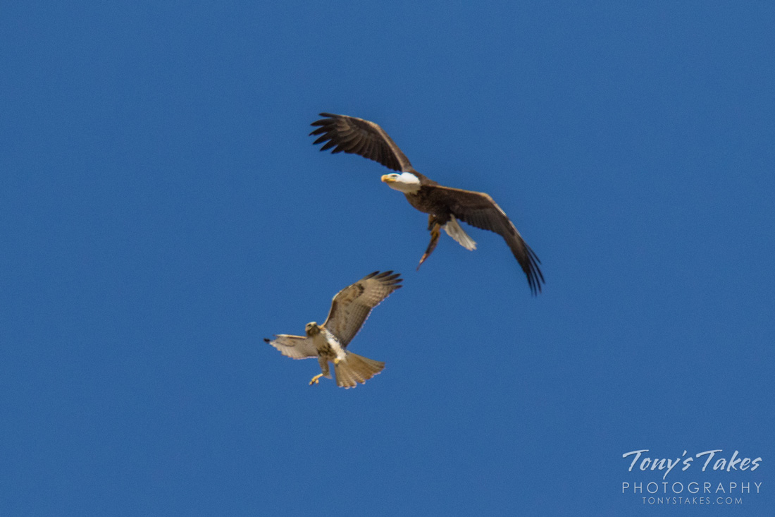 Red-tailed Hawk Eyeing a Fish Carried by a Bald Eagle.