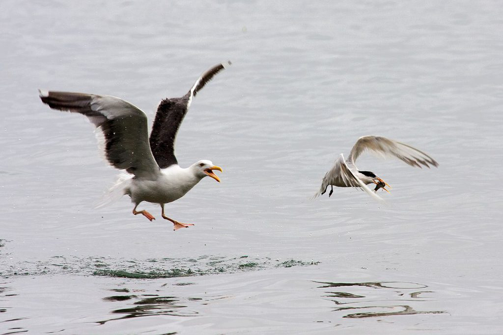 Western Seagull hoping to pirate a small fish from an Elegant Tern