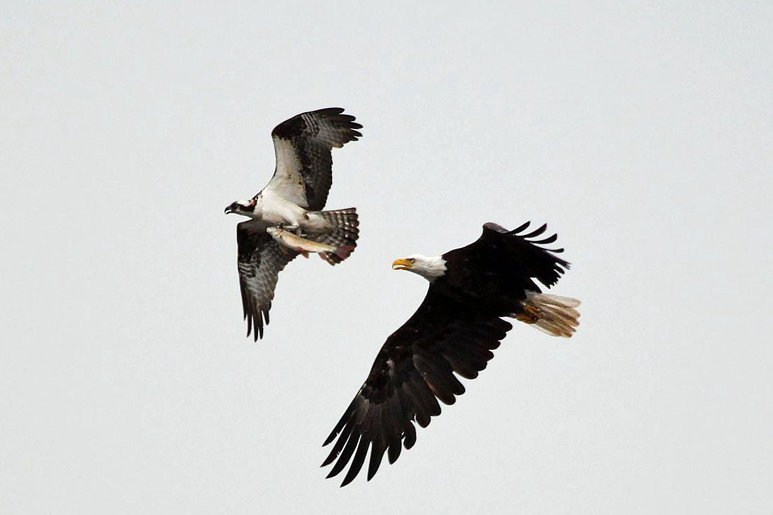 Bald Eagle attempting to pirate a fish from an Osprey