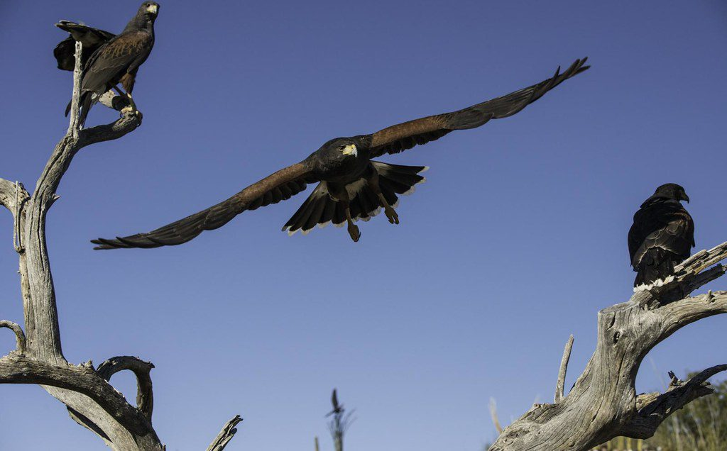 Two perched Harris Hawks with one in flight.
