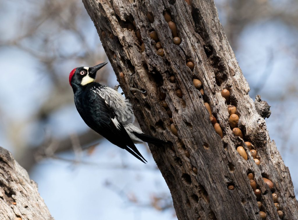 A woodpecker perched on the side of a tree that contains a cache of acorns.