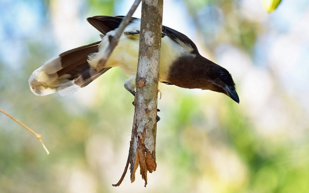 Brown Jay perched on a broken branch.
