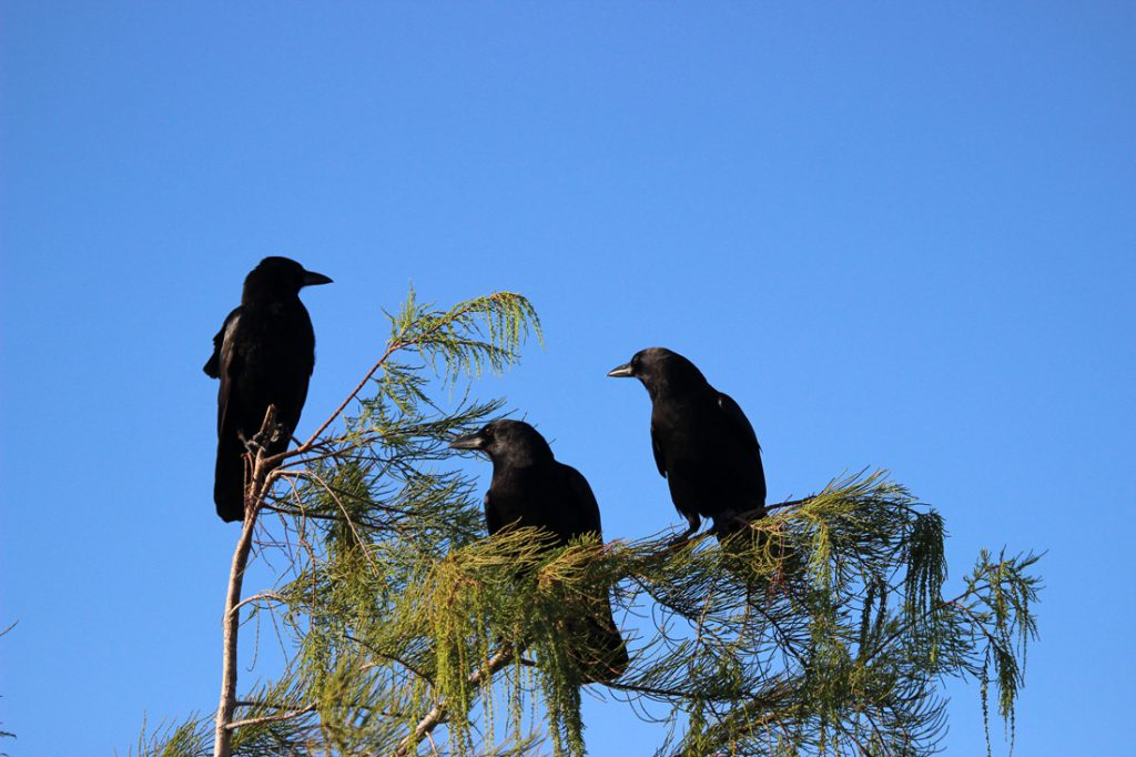 Three crows perched together at the top of a tree.