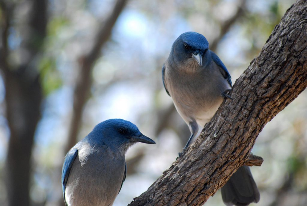 Two Mexican Jays side by side on a branch.