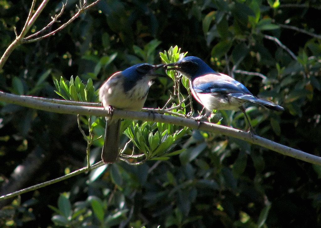 Two Scrub-jays side by side, with one feeding the other.