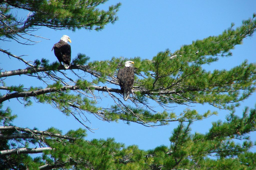 A mated pair of bald eagles perched in a White Pine tree.