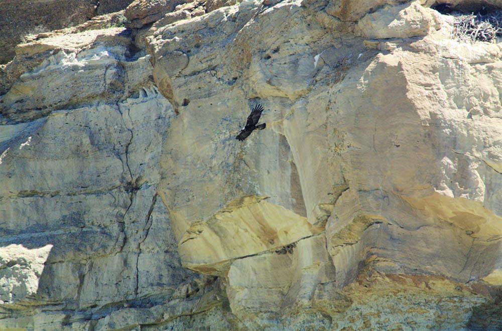 A golden eagle parent departs the nest after delivering food to two chicks.