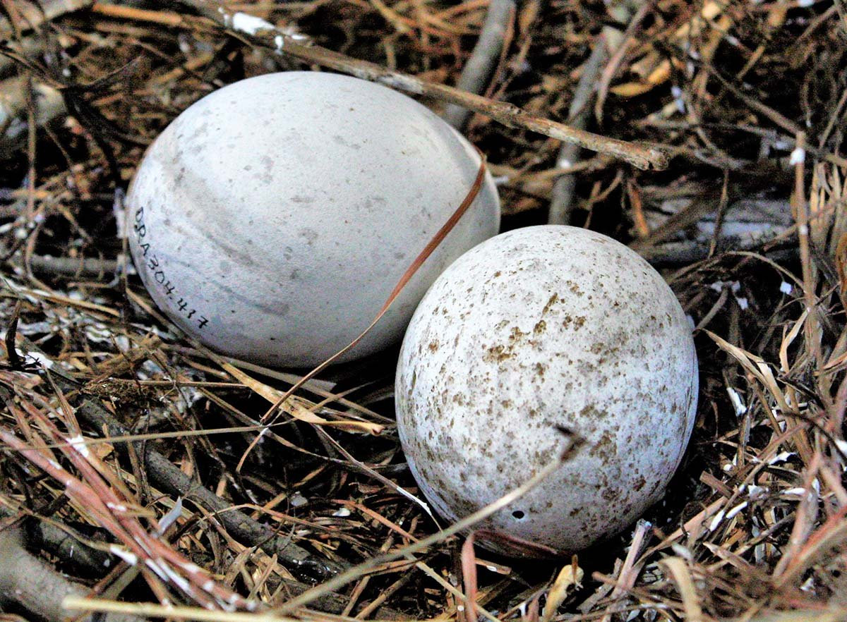 Golden eagle (Aquila chrysaetos) eggs. DRA304.416 and .417