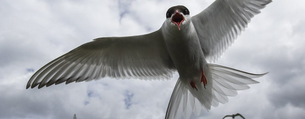 Artic Terns have the longest migration or any animal.