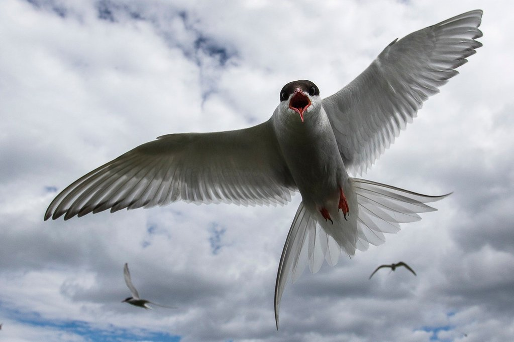 Close up of an Arctic Tern in migration, wings spread wide, with two others in the background.
