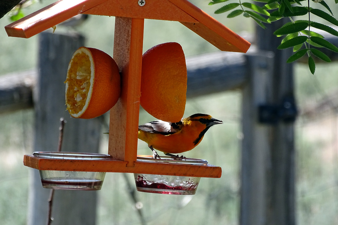 A male Bullock's Oriole perched on a feeding cup filed with Grape Jelly.