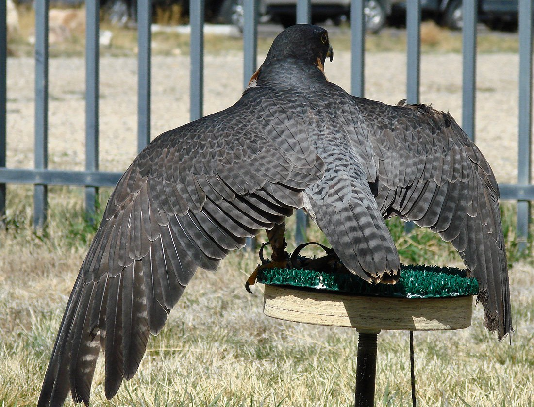 Hayabusa, the Draper Museum Raptor Experience's Peregrine Falcon, perched outside in our weathering yard.  Viewed from the back, with her wings held open.