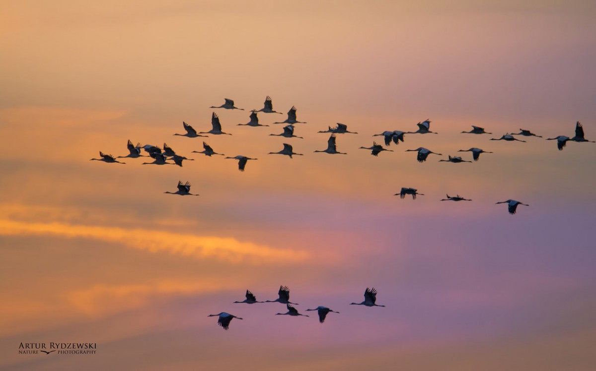 Migrating cranes against a sunset sky.